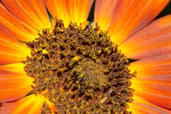 Sunflower flower in nature. In the park in nature Stock Photos