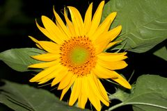 Sunflower flower in nature. In the park in nature Royalty Free Stock Photography