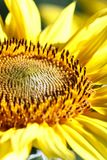 A sunflower flower on orange blurred background, banner for webs. Ite.Blurred space for your text Stock Images