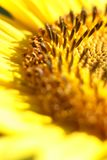 A sunflower flower on orange blurred background, banner for webs. Ite.Blurred space for your text Stock Photography