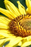 A sunflower flower on orange blurred background, banner for webs. Ite.Blurred space for your text Royalty Free Stock Image