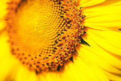 Sunflower flower Royalty Free Stock Images