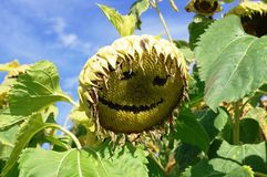 Sunflower, Flower, Plant, Sunflower Seed Royalty Free Stock Photography