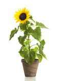 Sunflower in flower pot isolated. Sunflower in clay flower pot isolated on white background Royalty Free Stock Images