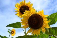 Sunflower, Flower, Sky, Sunflower Seed royalty free stock photo