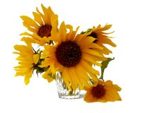 Sunflower flower in small clear glass isolated on white digital. Painting Royalty Free Stock Photo