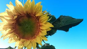 SunFlower. Flower summer sun Royalty Free Stock Photography
