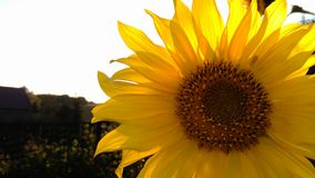 SunFlower. Flower summer sun Royalty Free Stock Photo