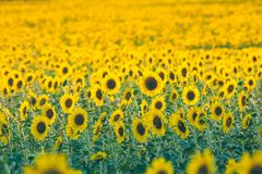 Sunflower is a flower from the sun!. Sunflower in the language of flowers - a symbol of optimism, fun and prosperity, a flower of warmth and sun. Sunflower Royalty Free Stock Photography