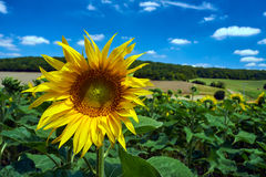 Sunflower flower on a sunny day Stock Images