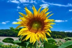 Sunflower flower Royalty Free Stock Image