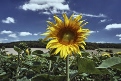 Sunflower flower on a sunny day Stock Photo