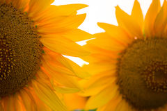 Sunflower flower at the sunset. Time abstract close up background Stock Image