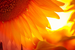 Sunflower flower at the sunset. Time abstract close up background Stock Photo