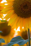 Sunflower flower at the sunset. Time abstract close up background Stock Images