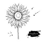 Sunflower flower vector drawing. Hand drawn illustration isolated on white background. Stock Photography