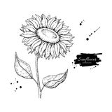 Sunflower flower vector drawing. Hand drawn illustration isolated on white background. Royalty Free Stock Photos