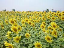 Sunflower. Flower wallpaper field royalty free stock photos