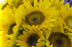 Sunflower flower with worker bee royalty free stock photography