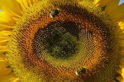 Sunflower, Flower, Yellow, Close Up Stock Photos