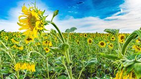 Sunflower, Flower, Yellow, Field stock photo
