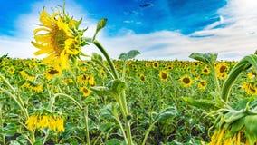 Sunflower, Flower, Yellow, Field stock photo