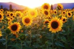 Sunflower, Flower, Yellow, Field stock photography