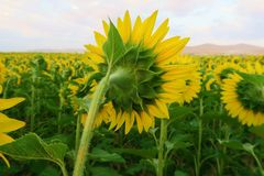 Sunflower, Flower, Yellow, Field royalty free stock photography