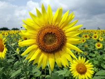 Sunflower, Flower, Yellow, Field Royalty Free Stock Image