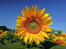 Sunflower, Flower, Yellow Flower Stock Images