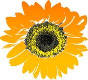 Sunflower, Flower, Yellow, Orange Stock Photography