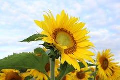 Sunflower, Flower, Yellow, Plant Stock Photo