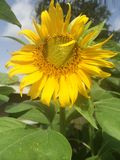 Sunflower. Flower yellow sun nature petal seeds bees birds leaves green bright Stock Images