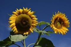 Sunflower, Flower, Yellow, Sunflower Seed