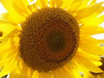 Sunflower, Flower, Yellow, Sunflower Seed Stock Photos