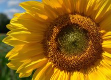 Sunflower, Flower, Yellow, Sunflower Seed stock photo
