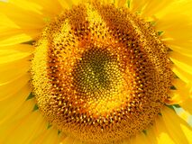 Sunflower, Flower, Yellow, Sunflower Seed Royalty Free Stock Photo