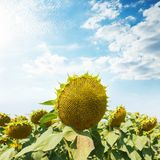 Sunflower after flowering on the field under cloudy sky. With sun stock image