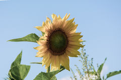 Sunflower. Flowering sunflower, the picture is in muted tones Stock Photography