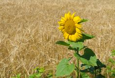 Sunflower at flowering time Stock Photos