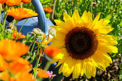 Sunflower and flowers Stock Photo