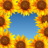 Sunflower flowers arranged in a circle on a blue background Royalty Free Stock Photography