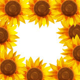 Sunflower flowers arranged in a circle Royalty Free Stock Images