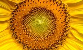 Sunflower, Flowers, Helianthus, Sun Royalty Free Stock Photos