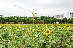 sunflower flowers and hoisting crane royalty free stock photos