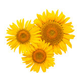 Sunflower flowers isolated Stock Photography