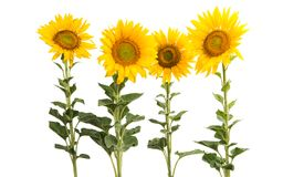 Sunflower flowers isolated. On white background Royalty Free Stock Image