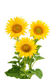 Sunflower flowers isolated royalty free stock photo