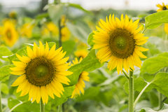 sunflower flowers royalty free stock images