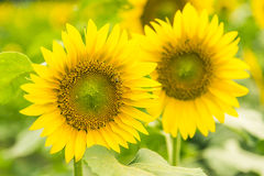 sunflower flowers stock image
